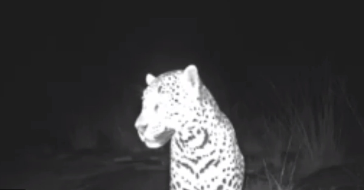 This jaguar selfie might be proof the animal is returning to the United States