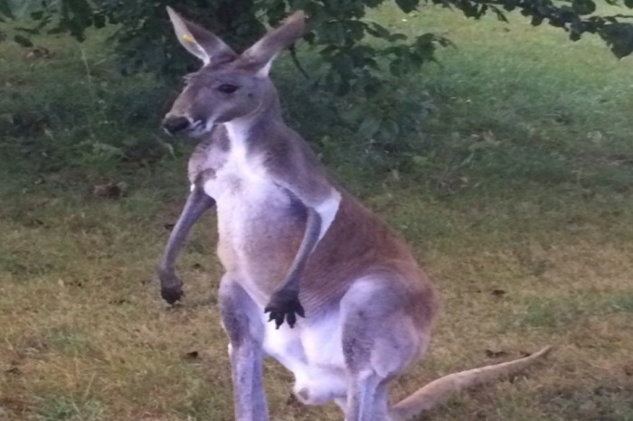 See what happened when this kangaroo ran away from his pumpkin patch