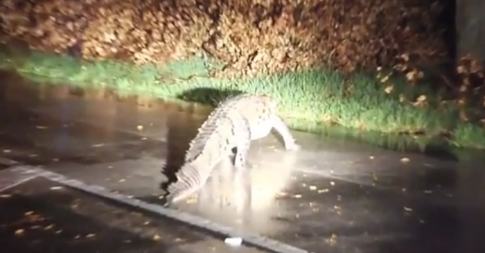 Watch a huge crocodile with a police escort shut down the streets