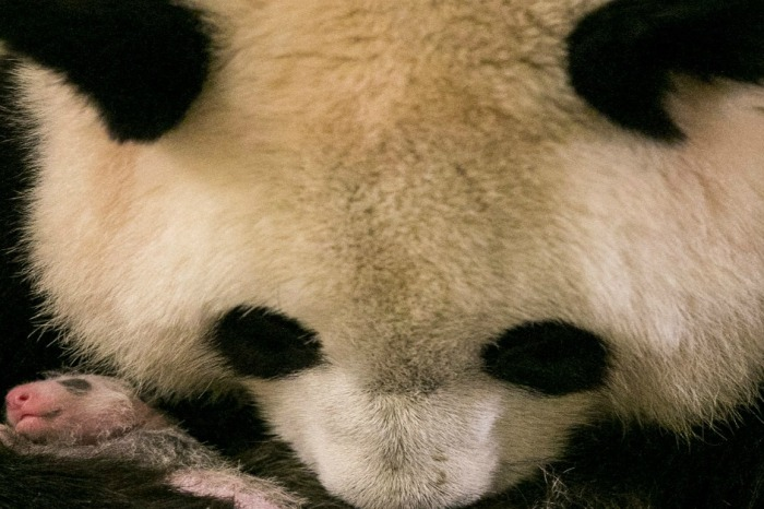 Meet France's first native-born panda, who happens to have a famous godmother