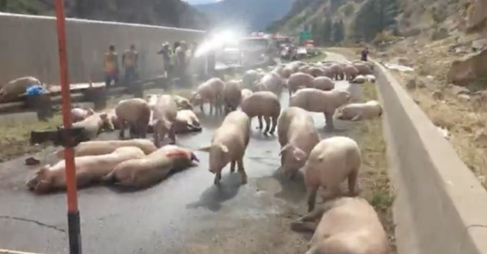 A semitruck overturned while carrying a whole lot of pork