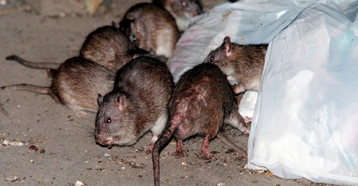 Chicago Has the Most Rats in the U.S. and We're Grossed Out Too