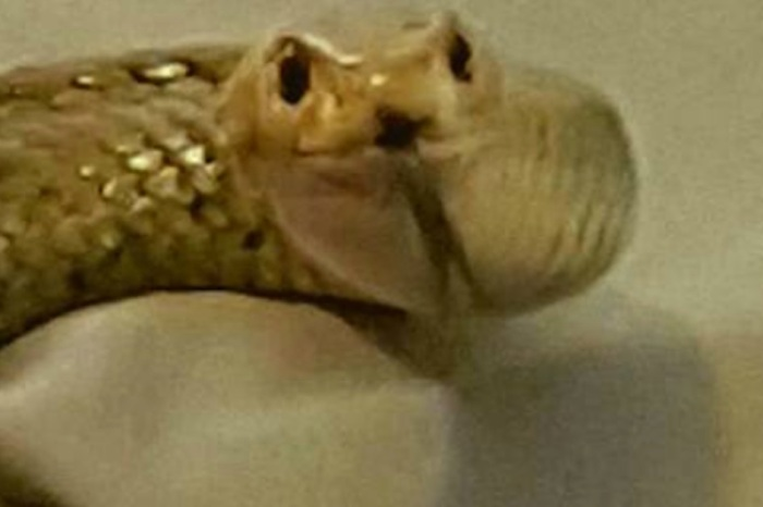 Mortified Couple Finds Second Deadliest Snake on Earth in Their Bedroom