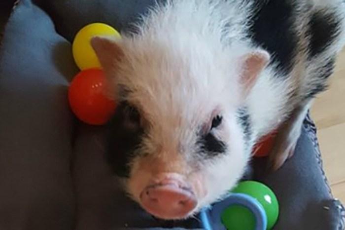 Tragic end for a stolen pig named Spam