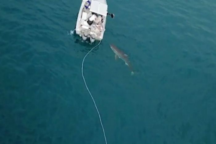 This footage of a great white shark dragging a boat will keep you out of the water