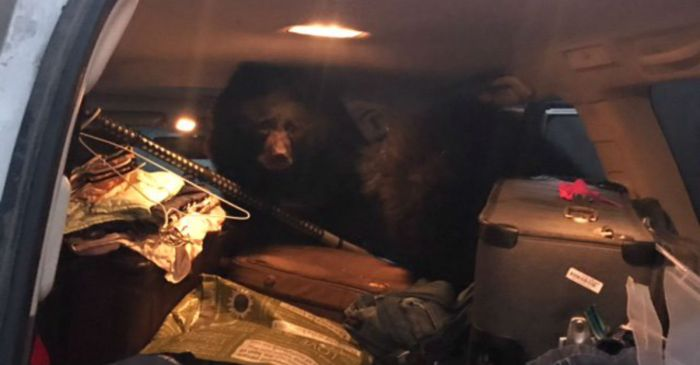 Woman freaks out after awakening to find three bears in her car, and we don't blame her
