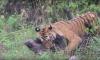 Tiger attacks wild boar