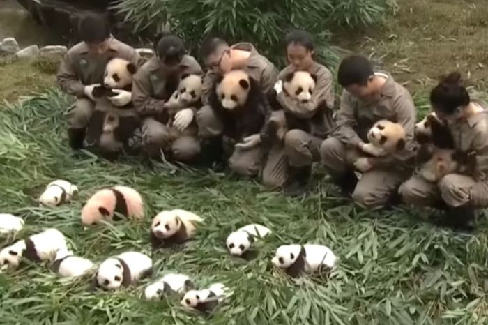 36 Giant Panda Cubs Made Their Public Debut