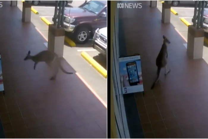 Video of a kangaroo trying to hop through a closed door has the internet in stitches