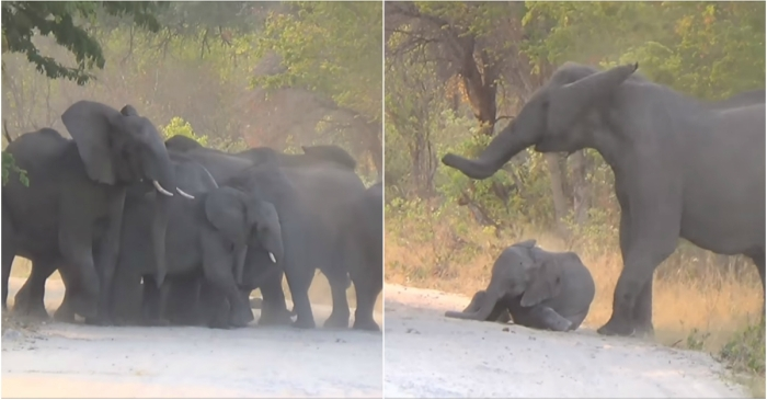 Heartbreaking footage shows an elephant herd's gallant attempt to rescue an injured calf