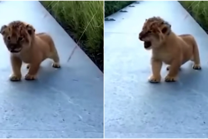 This adorable baby lion attempted to roar and we can't handle the cuteness