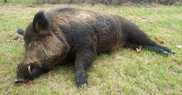 What Do You Do When a 416-Pound Feral Hog Tears up Your Property?