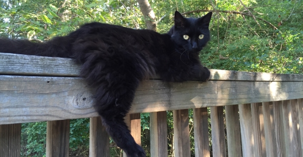 3 facts (and 3 myths) about black cats
