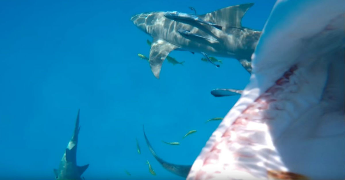 Watch the moment a hungry shark with rows of razor-sharp teeth gobbles up a GoPro