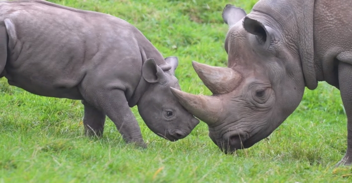 This baby rhino bothering its mom is all you need to get through the day