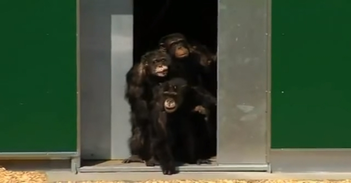 Emotional video shows chimpanzees once used as research animals get a new lease on life