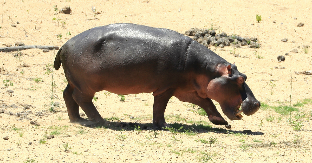 Hippos are dying fast, and experts think a deadly bacterial disease is to blame