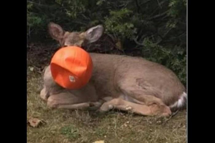 A deer in Cincinnati got its head stuck in a plastic pumpkin