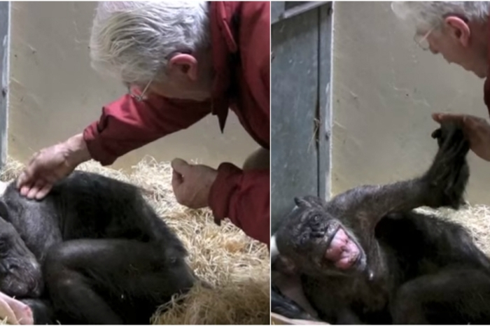 A dying chimpanzee recognizes an old friend and all of our hearts melted