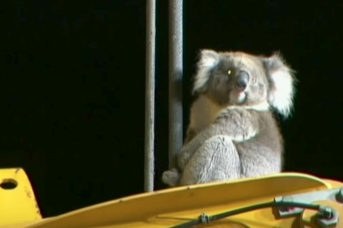 Workers rushed to rescue a koala perched atop a drilling rig