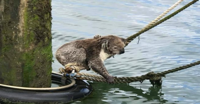 A boating crew rescued an adorable castaway koala who was far from home