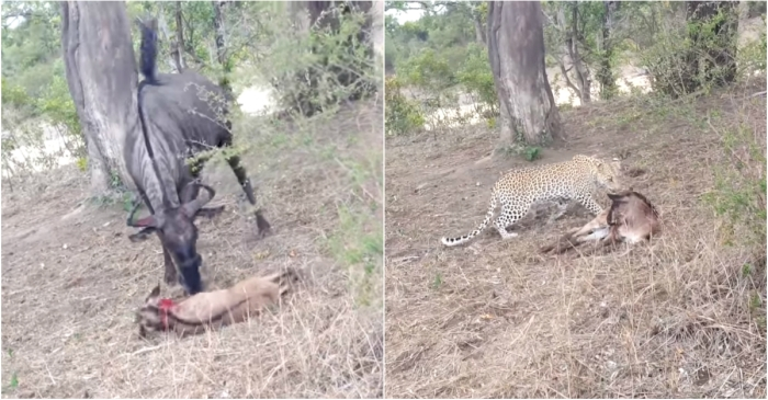 A chance encounter with a leopard ended in disaster for a wildebeest and her calf