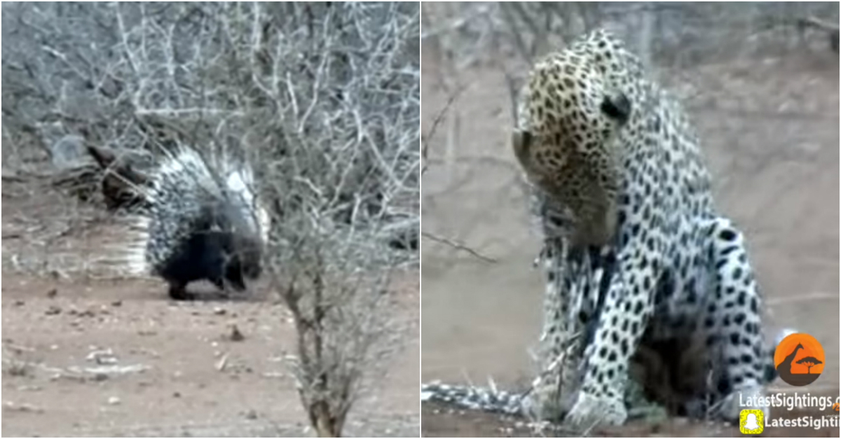 Leopard learns the hard way that porcupines aren't to be messed with