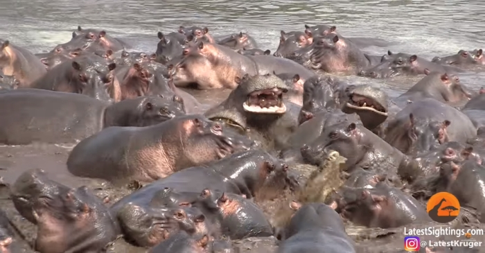 Captivating footage shows a gang of hippos savagely attacking one crocodile