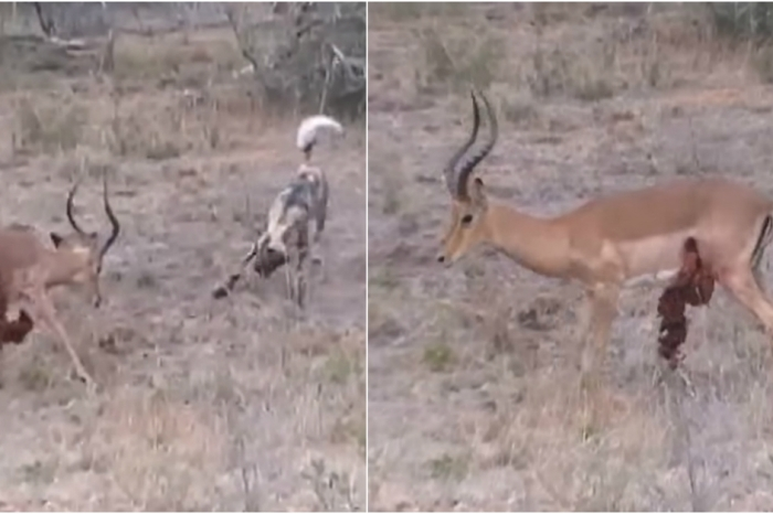 A valiant impala attempts to fight off a hungry wild dog — with its guts hanging out