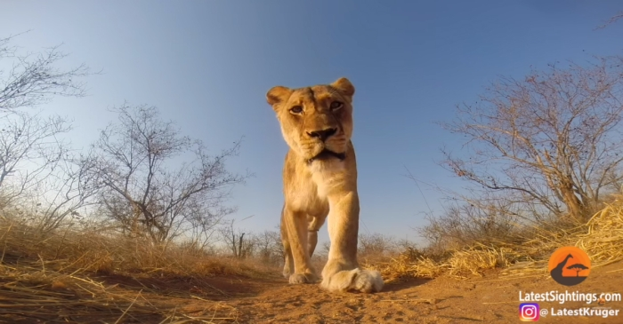 Get up close and personal with a majestic lioness thanks to this intimate GoPro footage