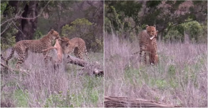 Fascinating video shows 2 cheetahs capturing and killing a young impala