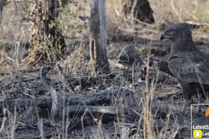 It's eagle vs. cobra in this epic battle of the predators
