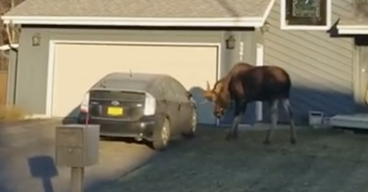 Huge Angry Moose Beats Up Prius