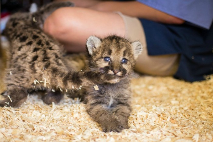 Meet Cascade, Columbia and Rainer: the Toledo Zoo's newest, cutest cougar cubs