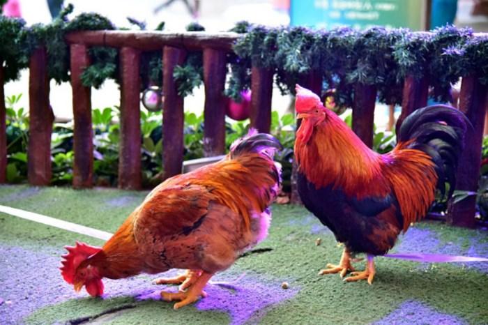 Chicago locals fight animal rights activists on chicken market practices