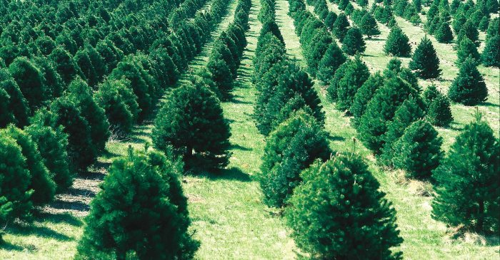 10 tips on buying the perfect Christmas tree