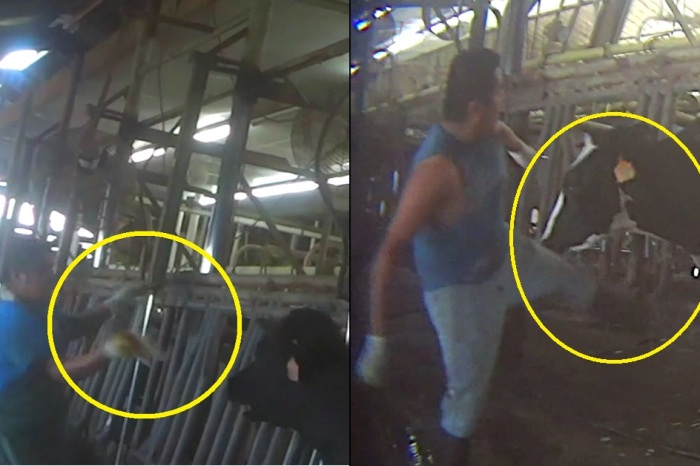 A Florida dairy farm is investigating graphic animal abuse depicted in new undercover footage