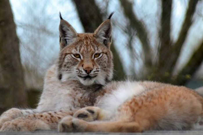 An escaped lynx is blamed for the deaths of 7 sheep near where she went missing