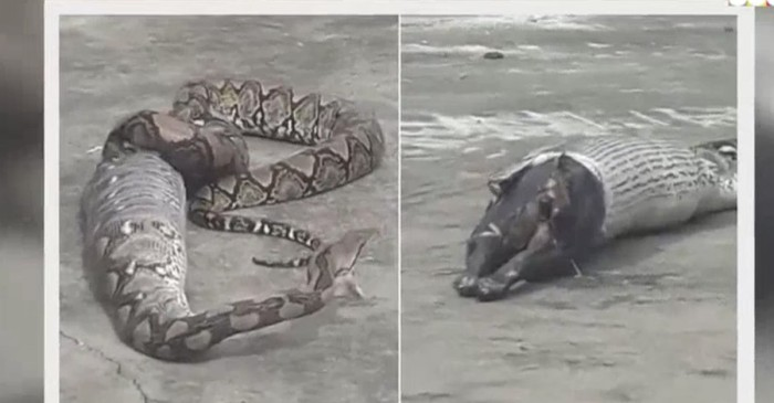 This huge snake just had one huge meal, and the footage is extremely gross