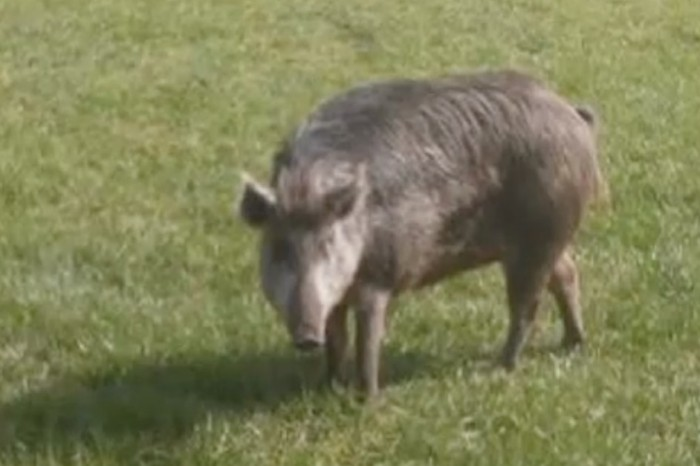A feral hog wanted none of this Florida woman's hospitality