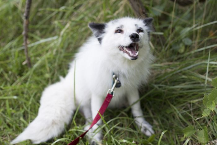 Rare white fox has finally returned home to his owner after going missing on the Chicago West Side