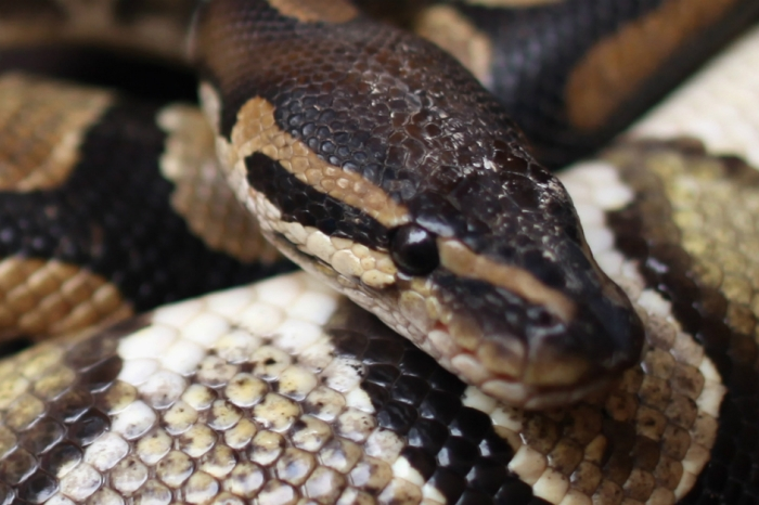 Cops who detained a rowdy drunkard were shocked when he pulled a python out of his pants