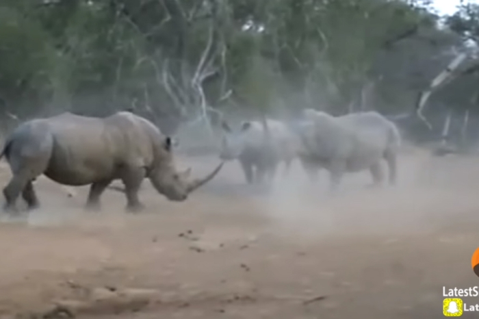 Tourist captures footage of a male rhino bullying a mother and her young calf