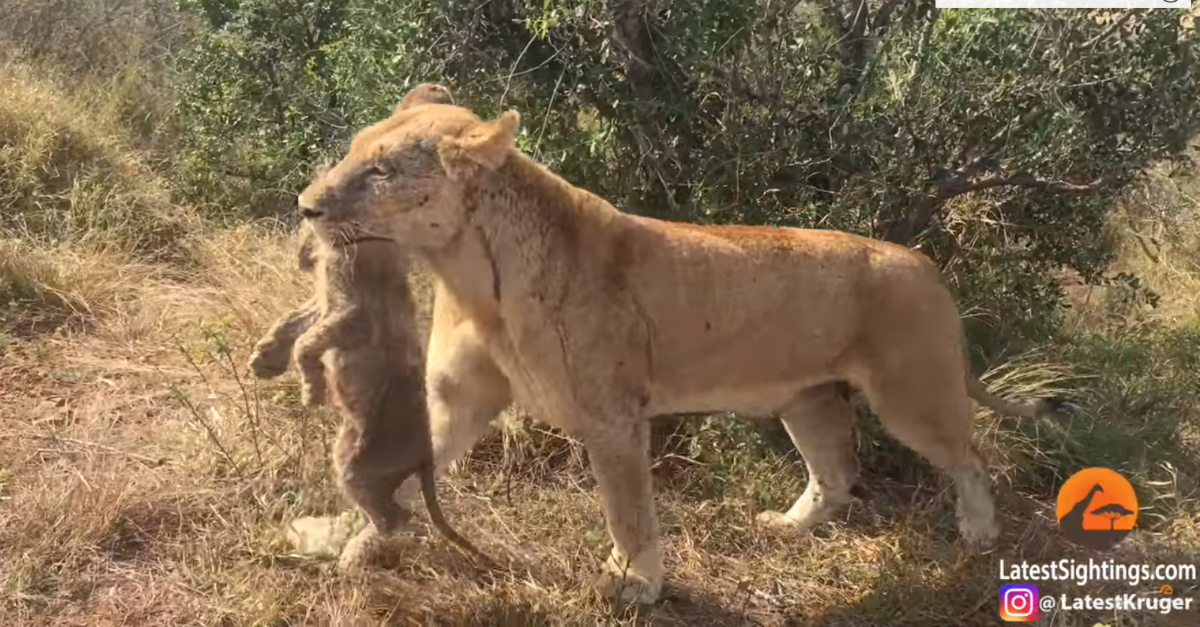 When her cubs got lost in an elephant stampede, this lioness risked her life to save them