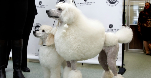 12 cuddly and fluffy facts on the poodle