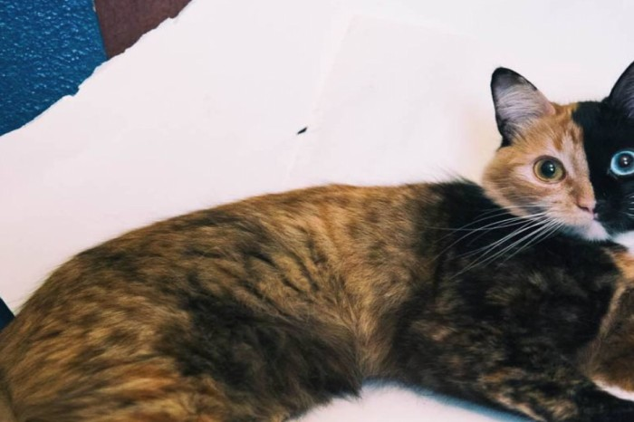 See the extraordinary feline that has nine lives and two faces!