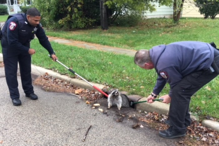 This raccoon ate so much he got stuck in a sewer and we can relate