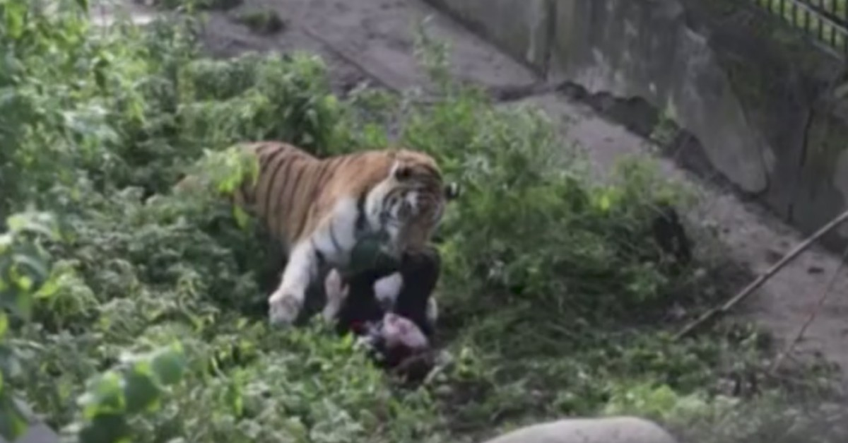 See the horrifying moment when a tiger nearly mauled a zookeeper to death