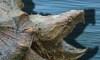 alligator snapping turtle illinois