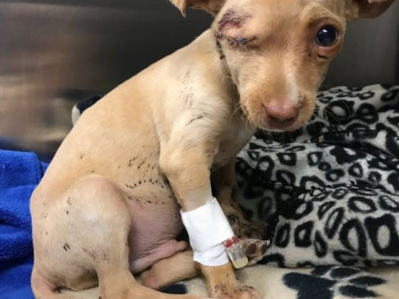 Abused and abandoned puppy finds new Houston home for the holidays